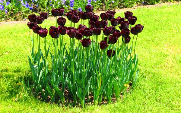 Клумба тюльпанов своими руками фото
