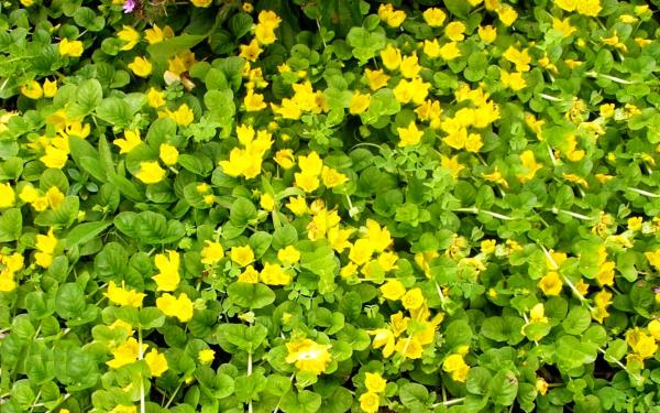 Цветы вербейник монетчатый фото