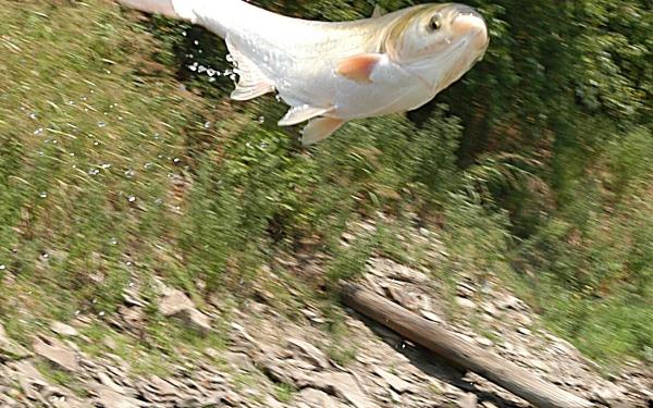 рыба толстолобик как приготовить заливное