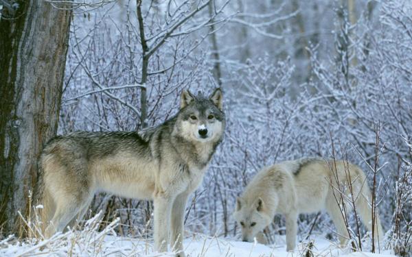 Картинка волки целуются - 7d