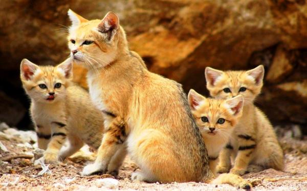 Картинка Барханная кошка с котятами » Кошки » Животные ...