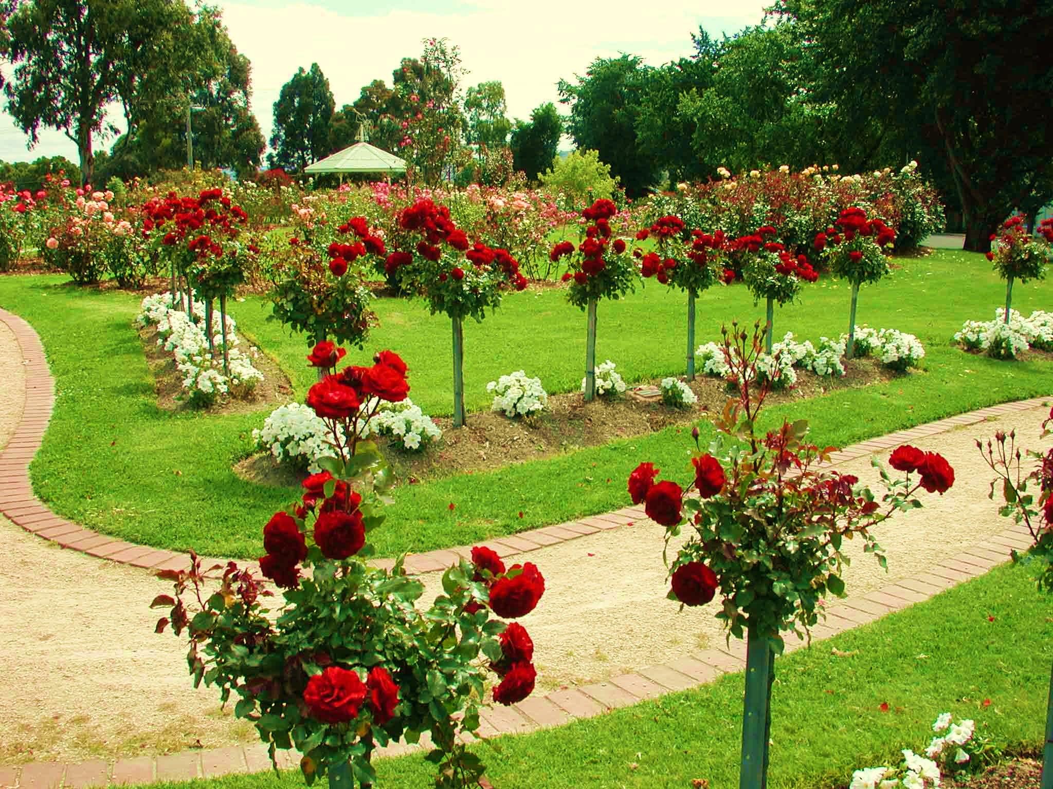 Роза ландшафтный дизайн