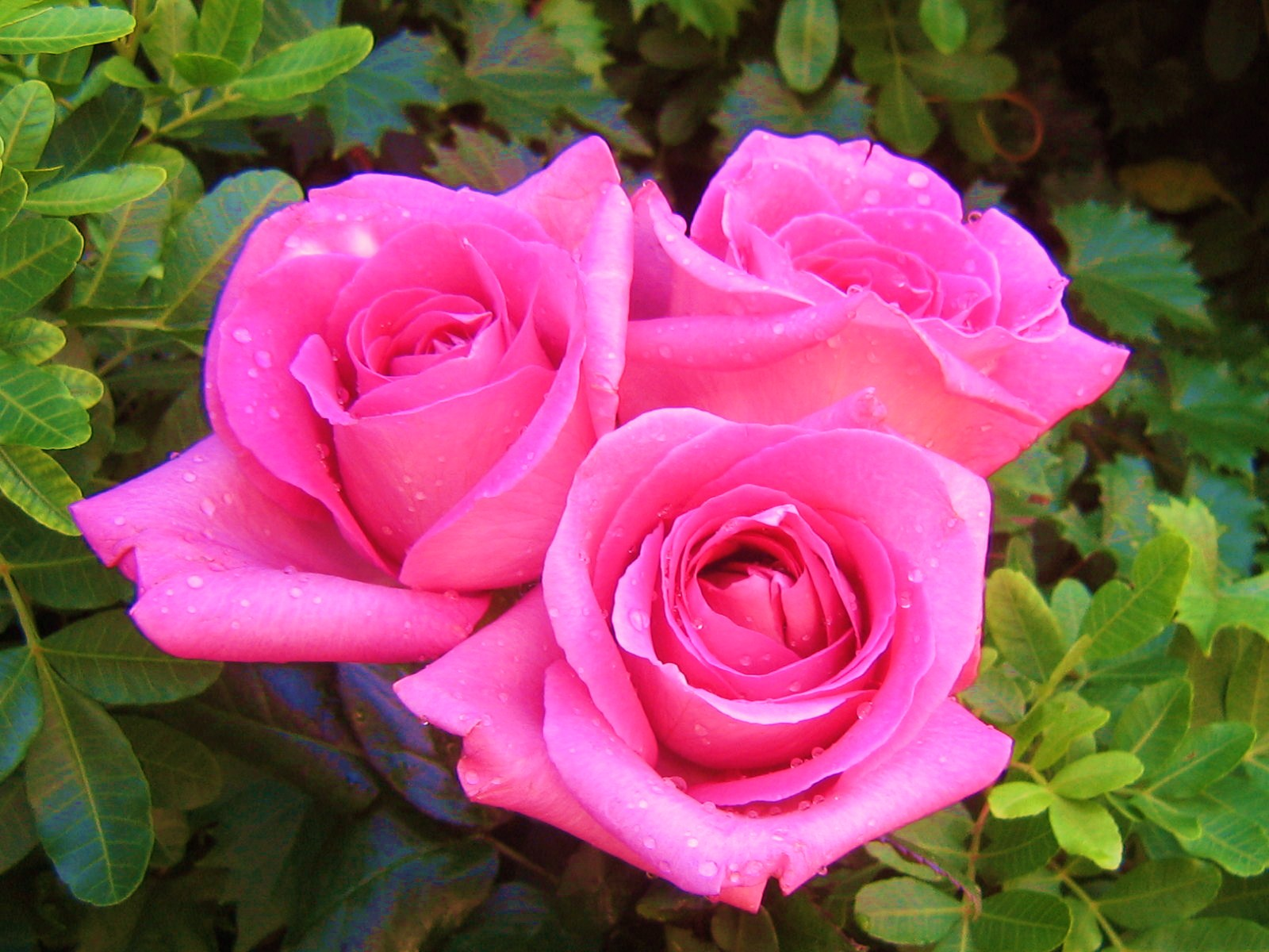 Самые красивые фото цветов и букетов роз (35 фото) • прикольные.