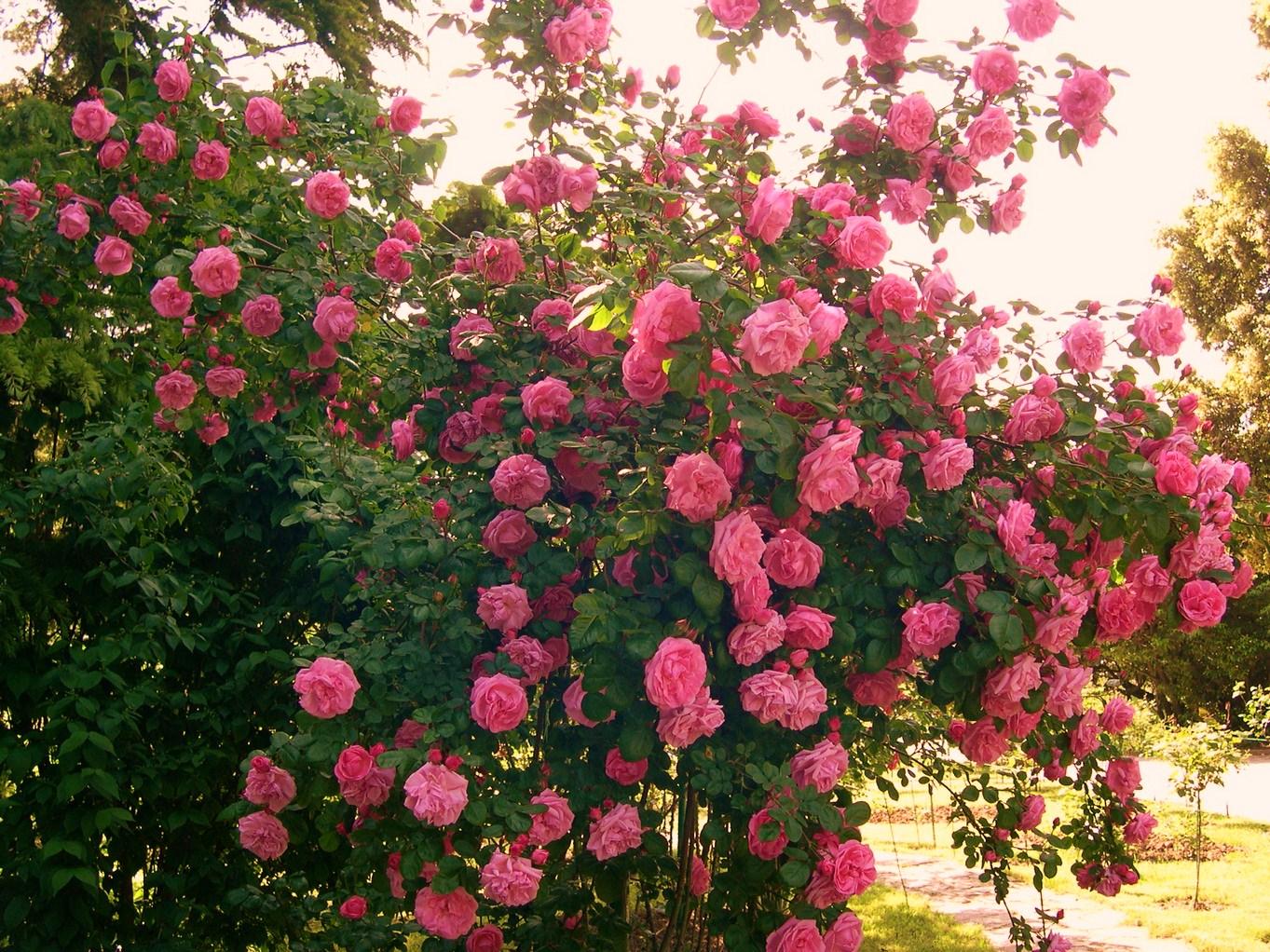 фото розовый куст