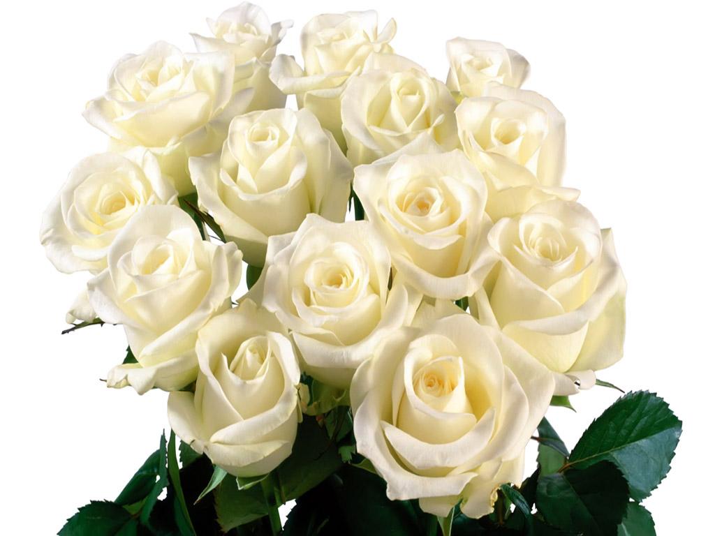 Цветы розы белые
