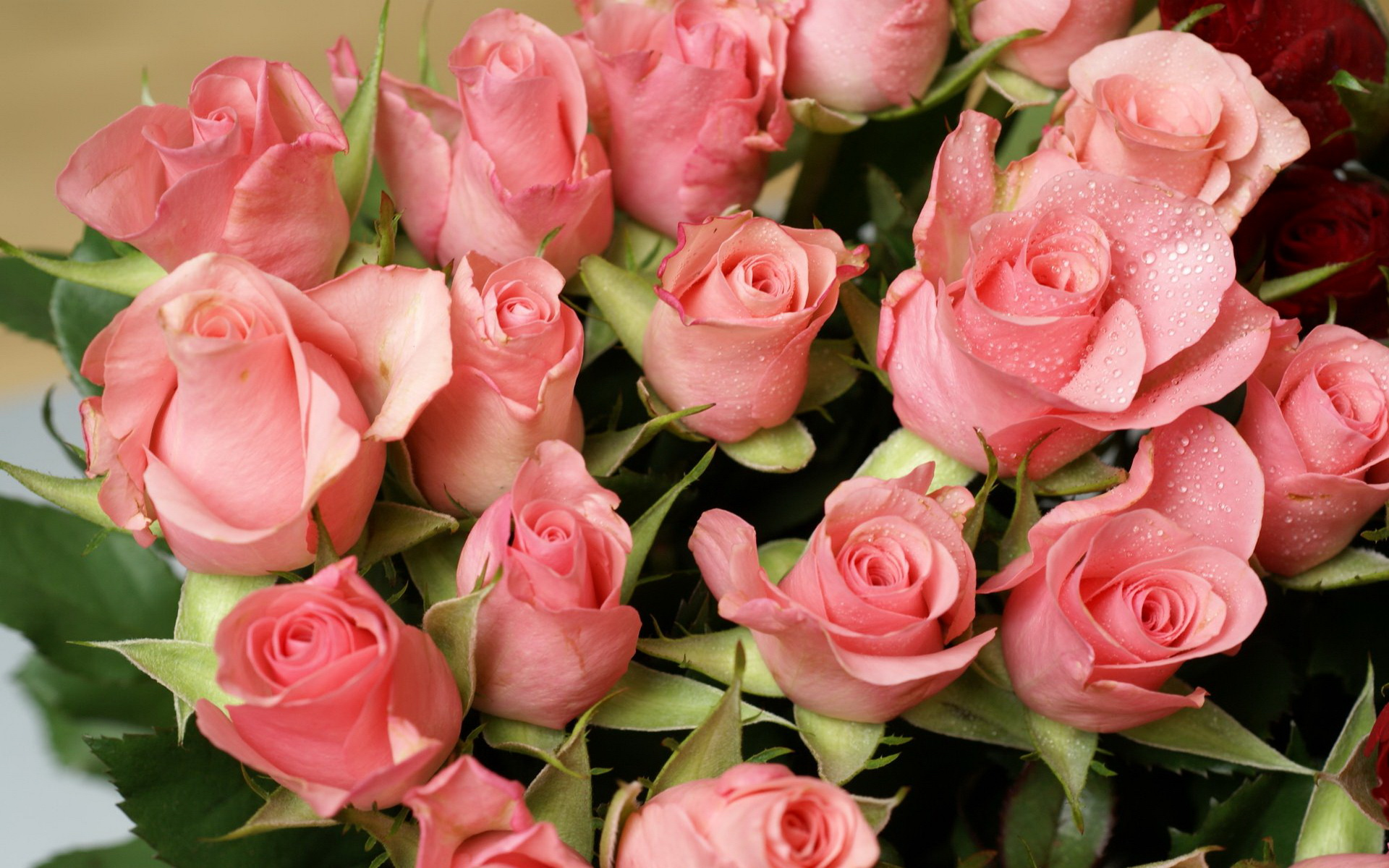 Розовые розы цветы