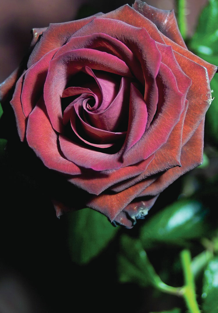 Темно-бордовая роза