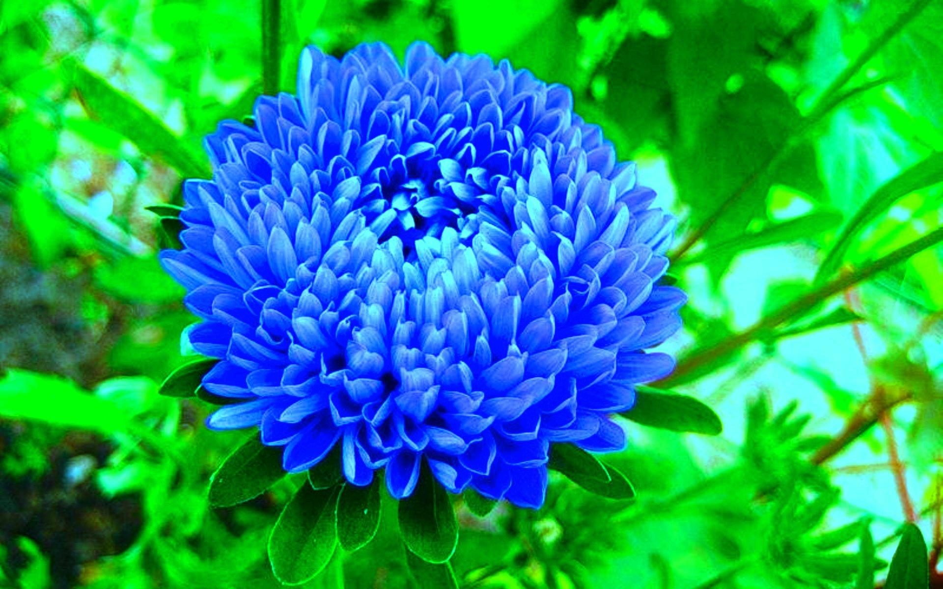 синяя астра фото