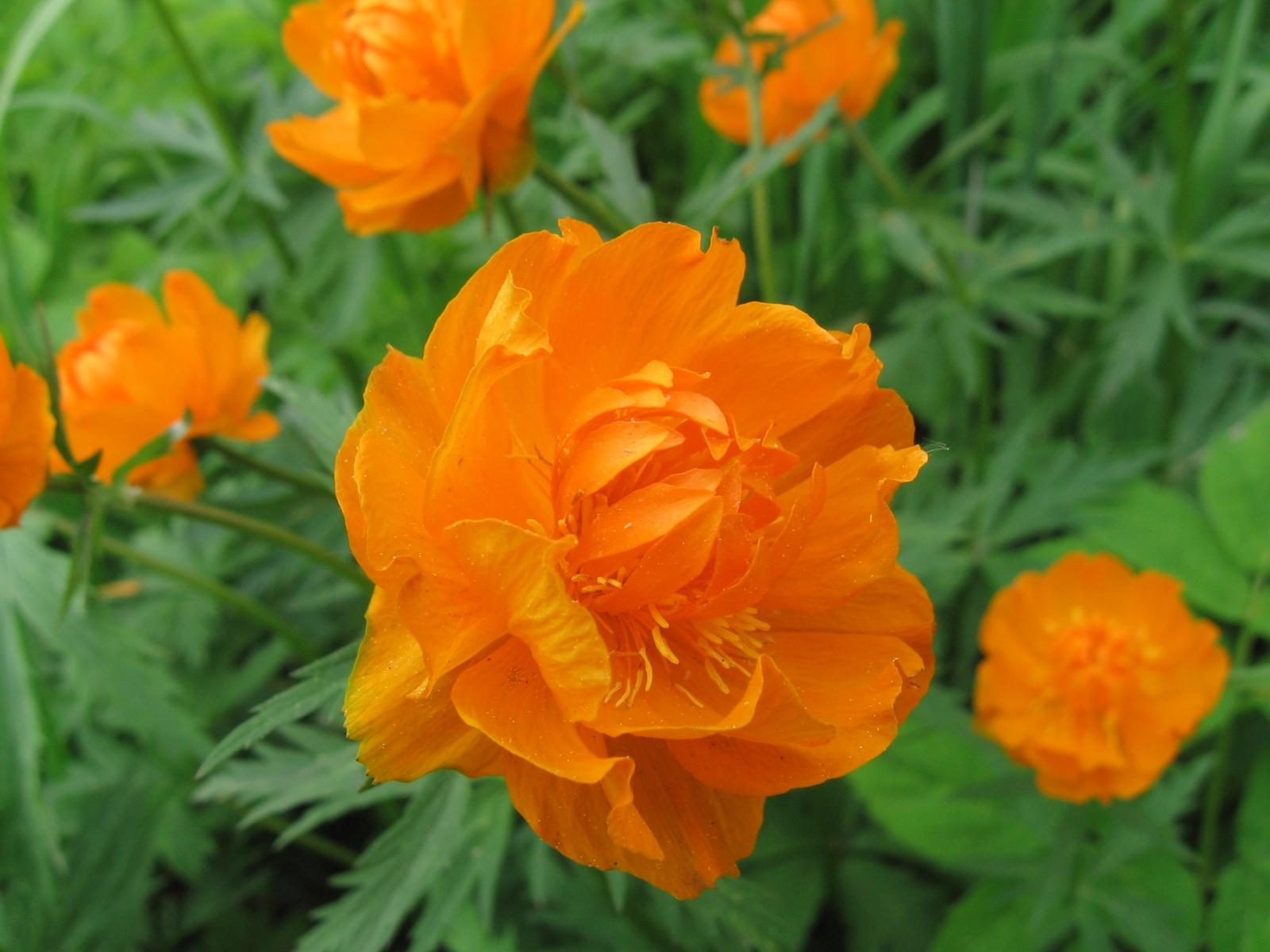 Фото цветка огонька