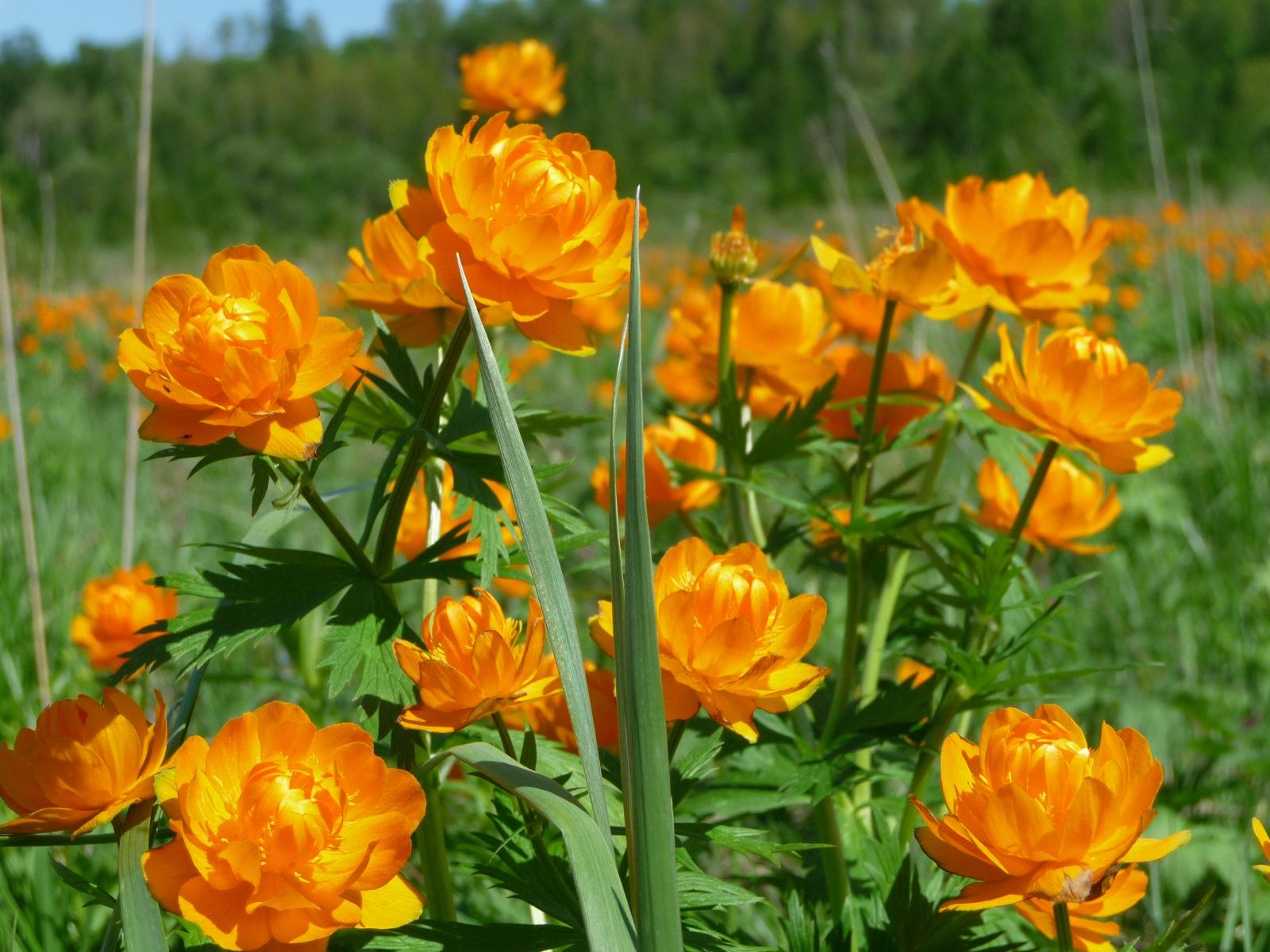 Букет полевых цветов огоньки цветы
