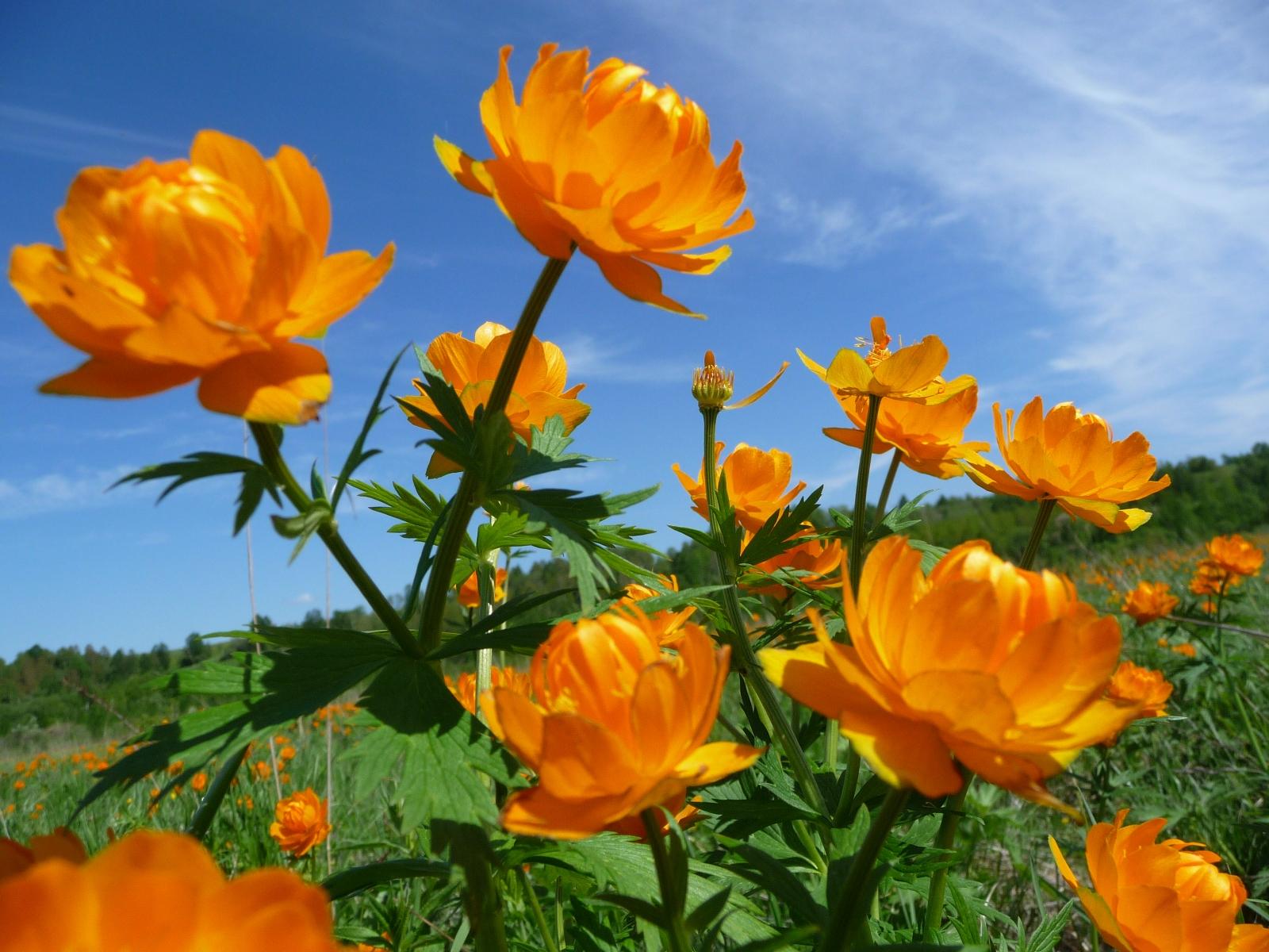 цветы фото луговые