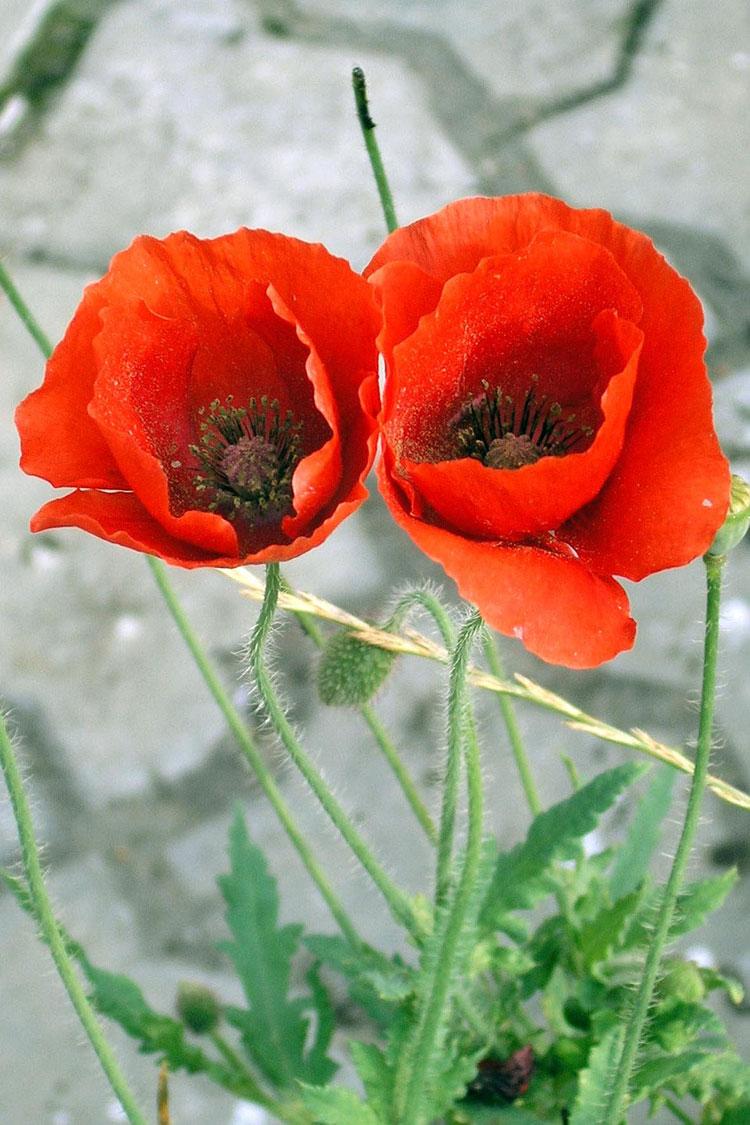 цветы мака фото