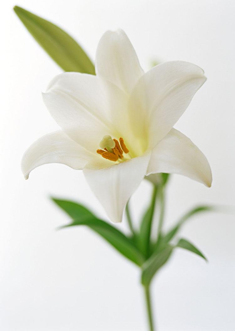 Каллы фото цветов какие бывают виды сорта