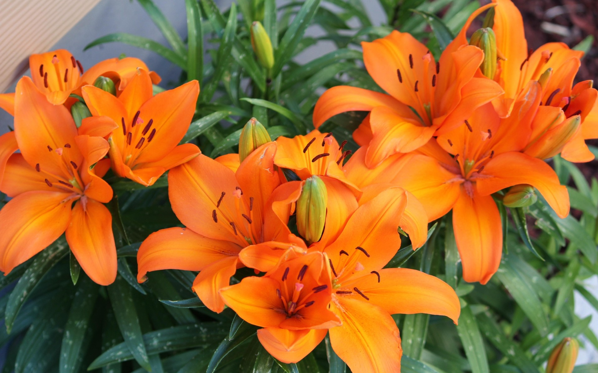 Оранжевая лилия цветок фото