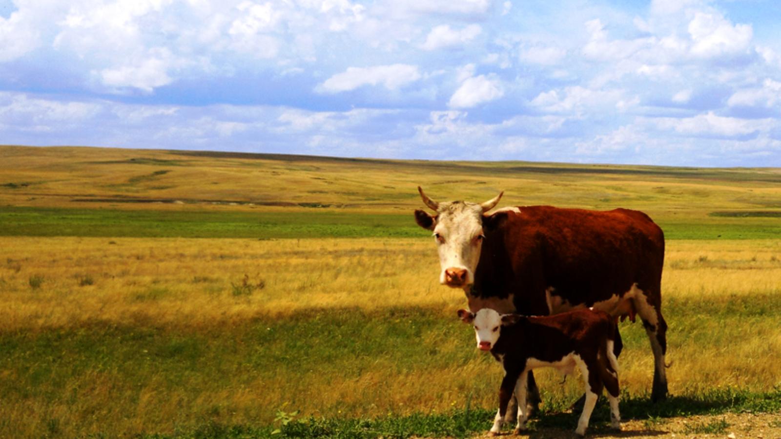 Картинка корова с теленком