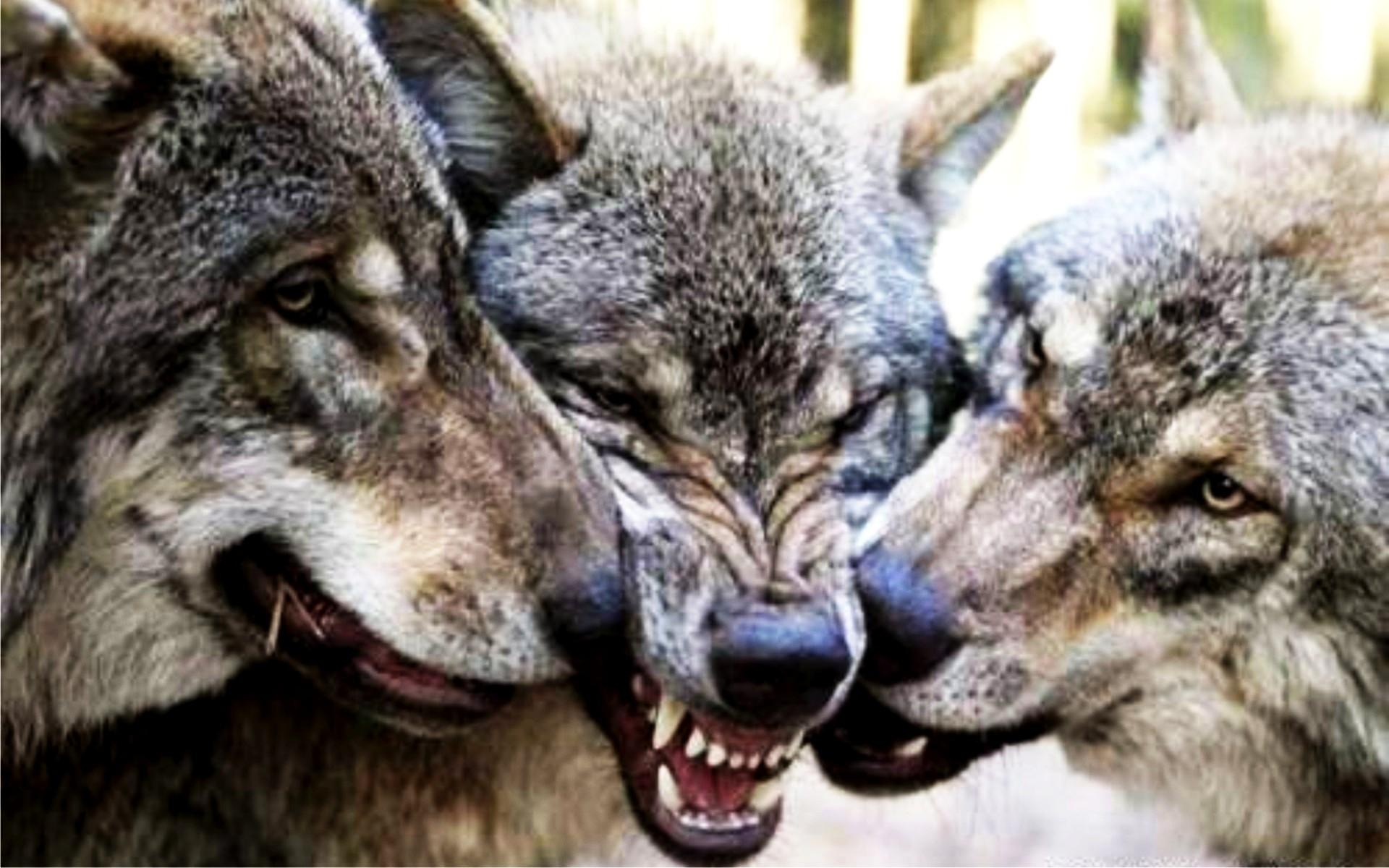 Картинка волки целуются - 95d45