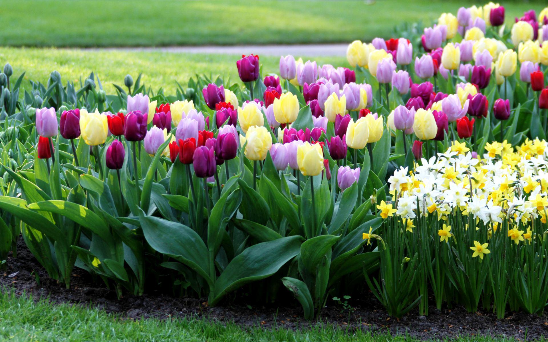 Клумба из тюльпанов своими руками на даче фото 54