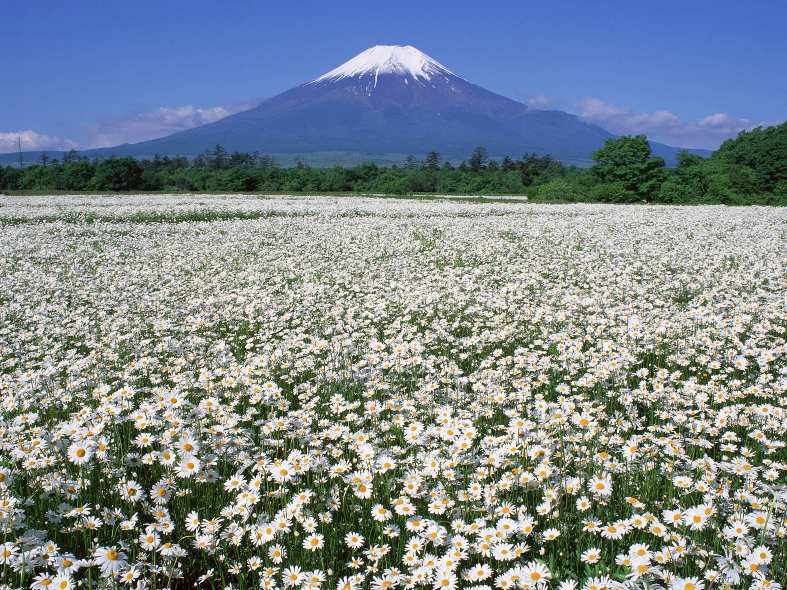 Фото поле с ромашками