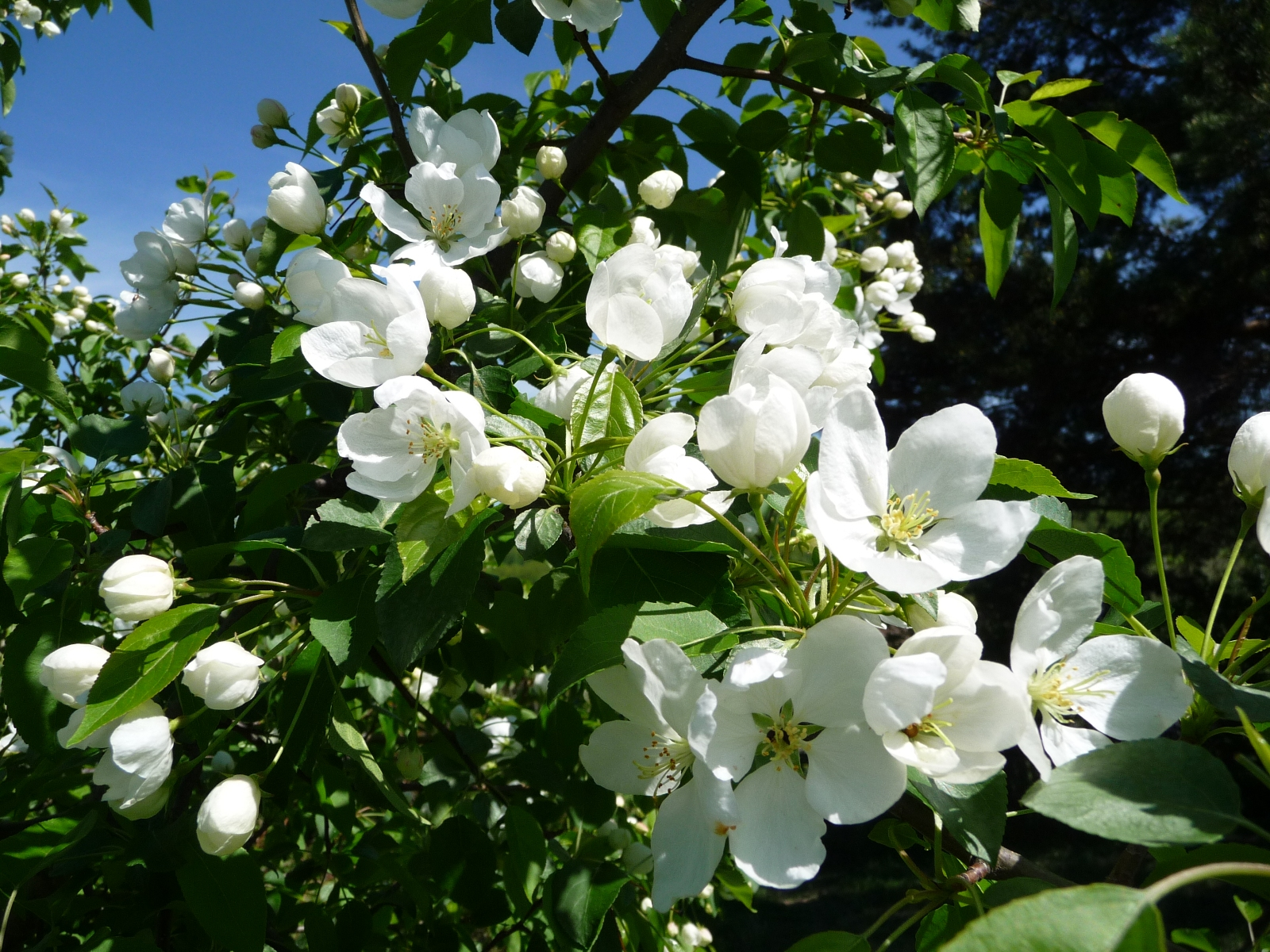 Яблоня в цвету фото