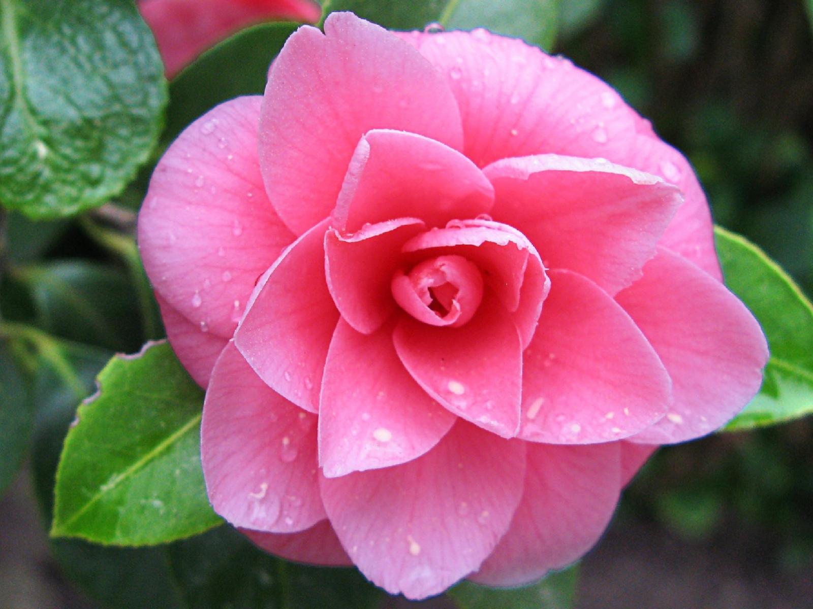 Цветы камелия