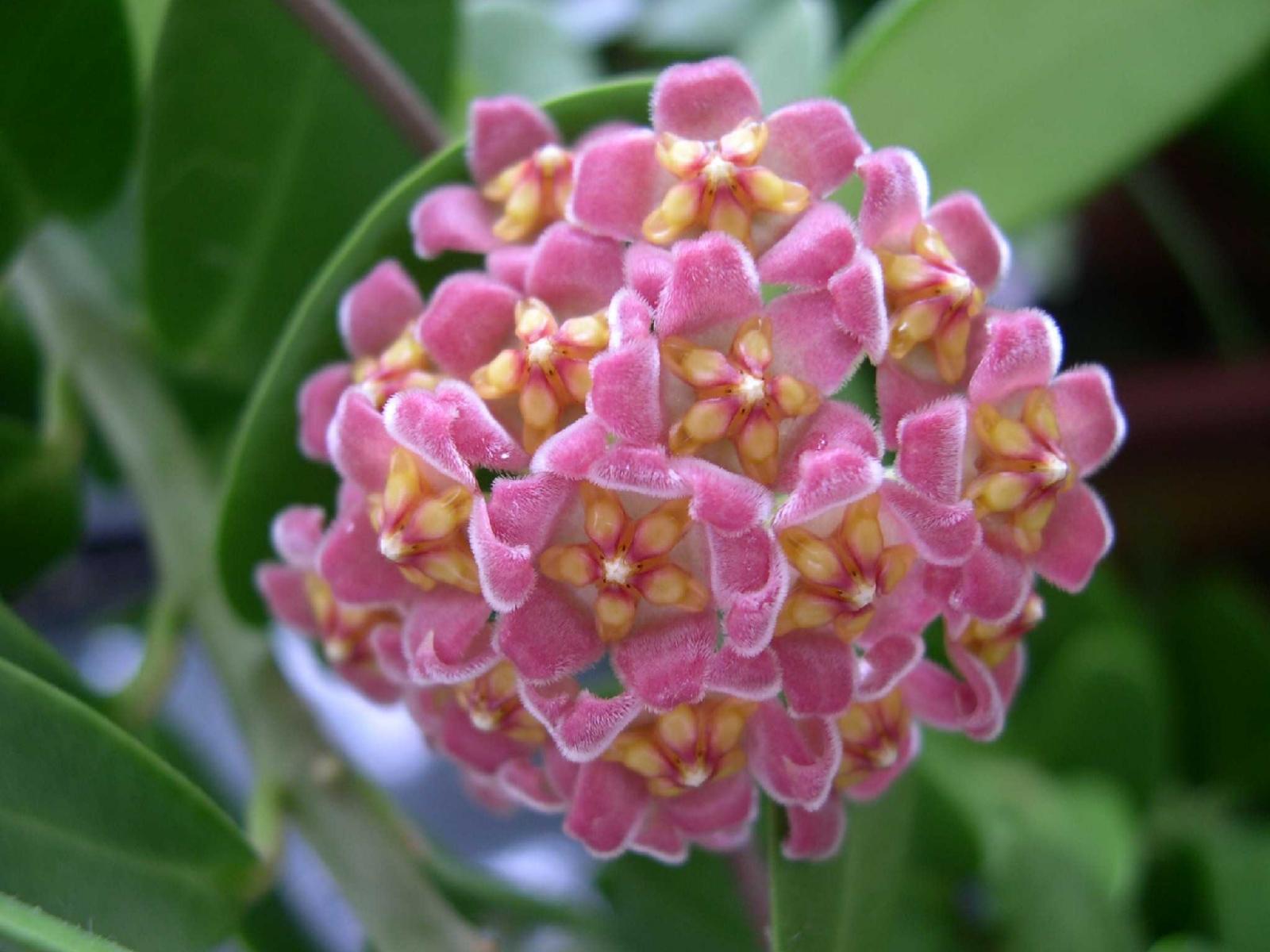 хойя цветок фото