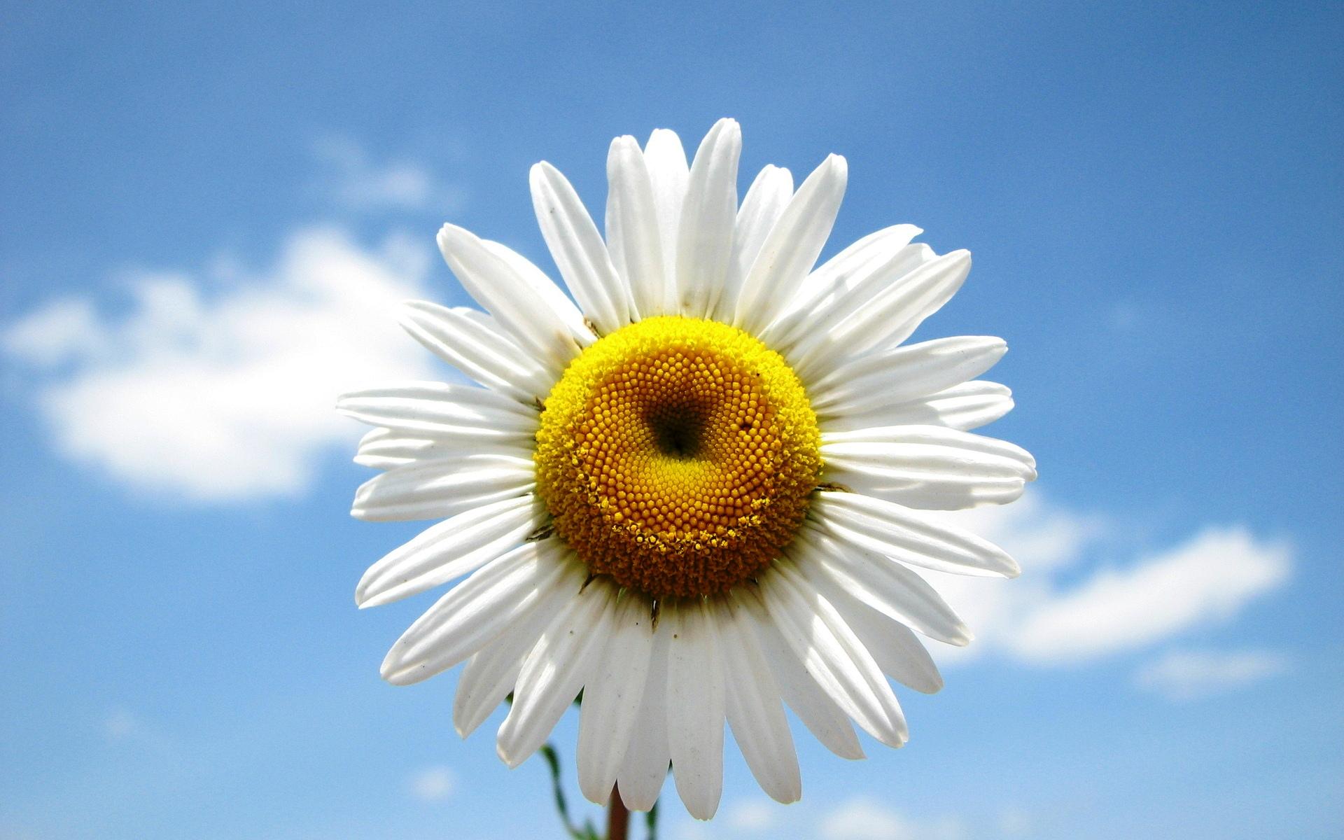 Ромашка цветок фото картинки