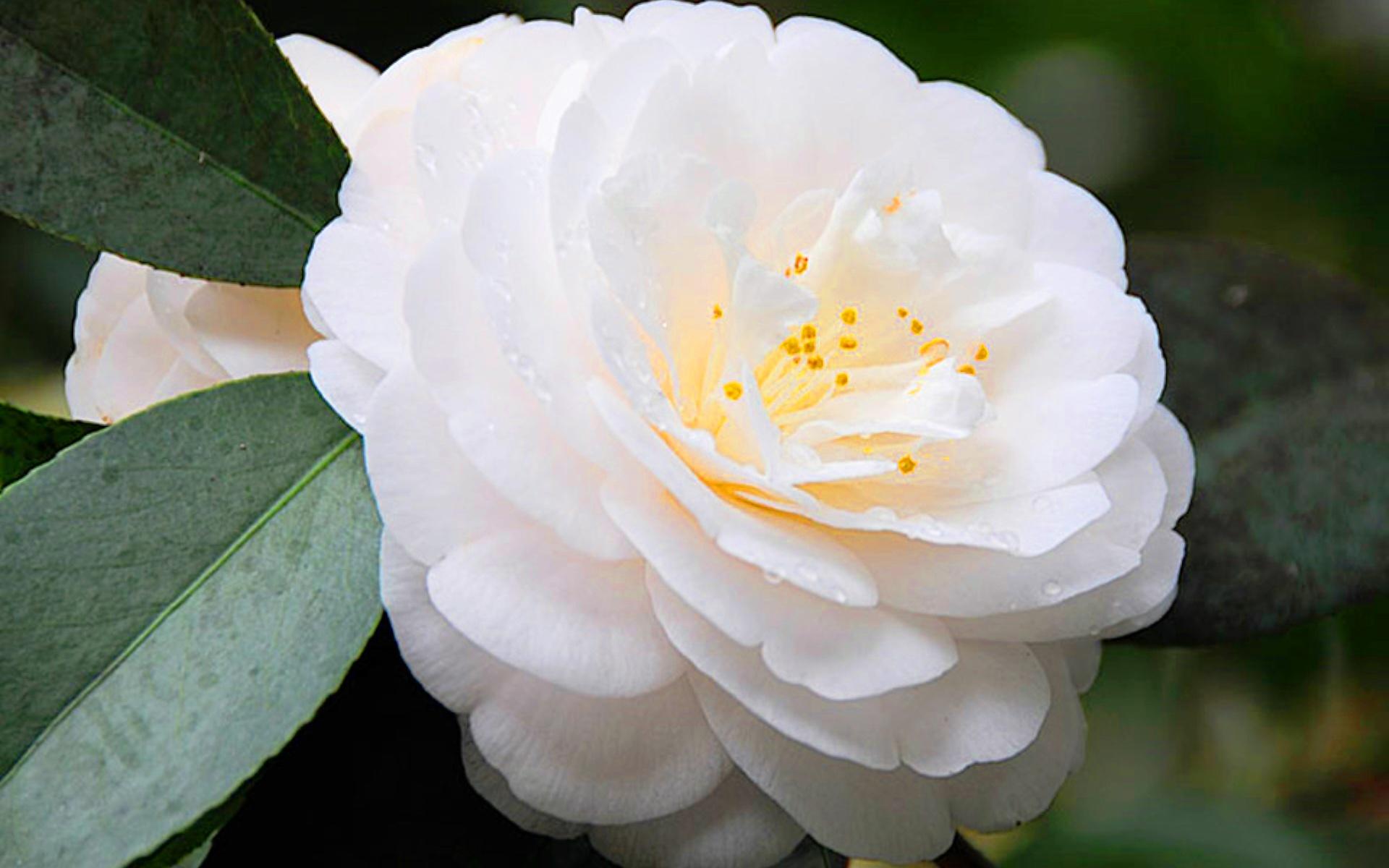 Цветок белой камелии