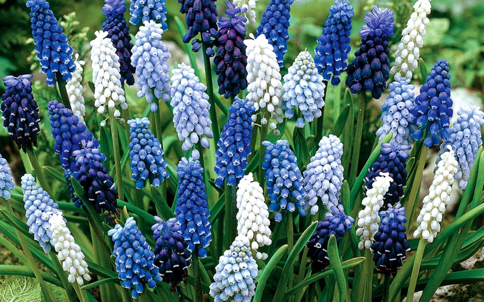 Луковичные многолетники: фото и их названия Архивы Цветы 75