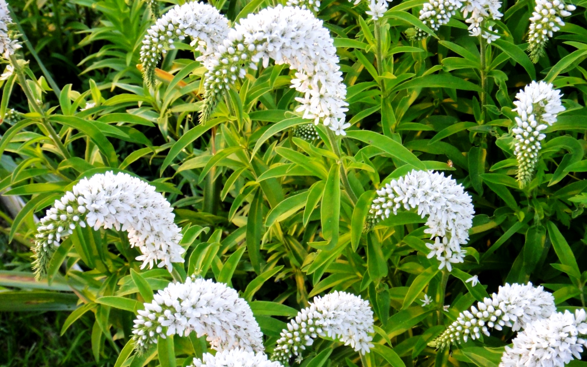 Вербейник ландышевый фото цветов