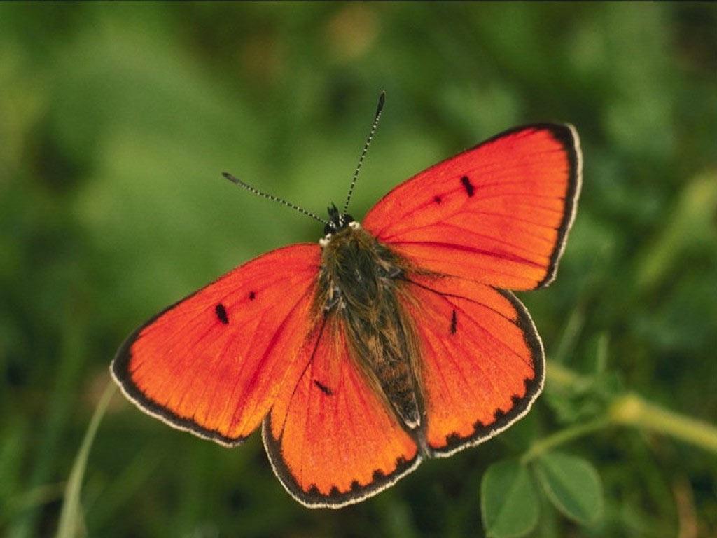 Бабочка красная