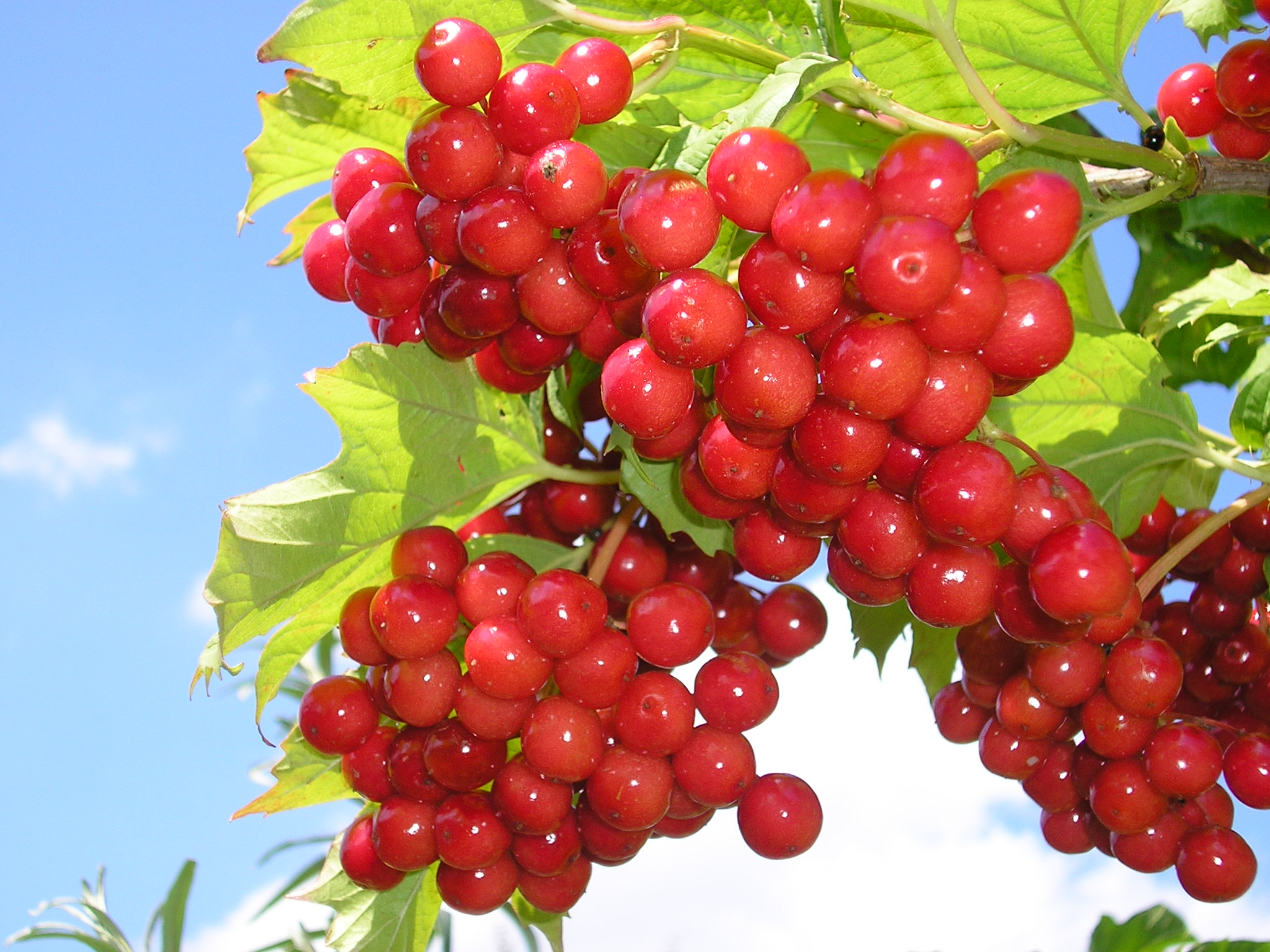 Картинки калина ягода
