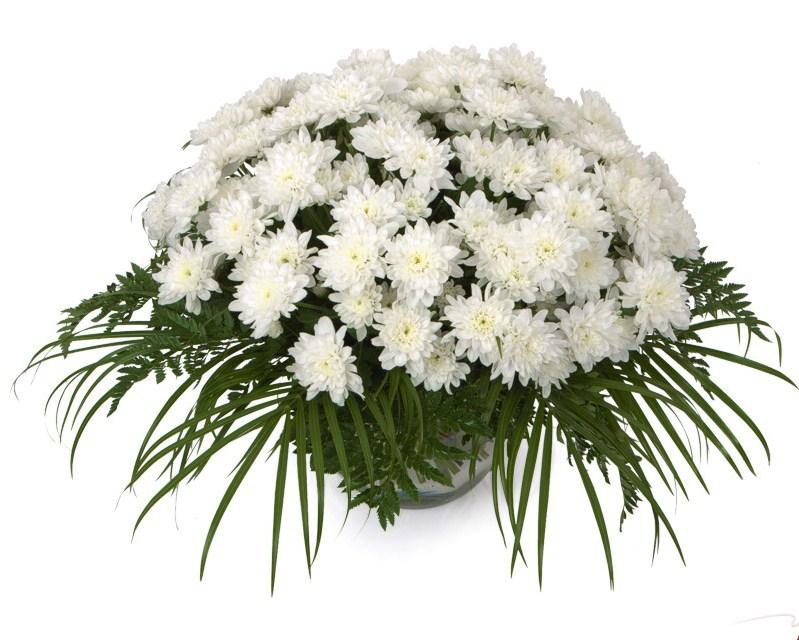 цветы хризантемы  белые