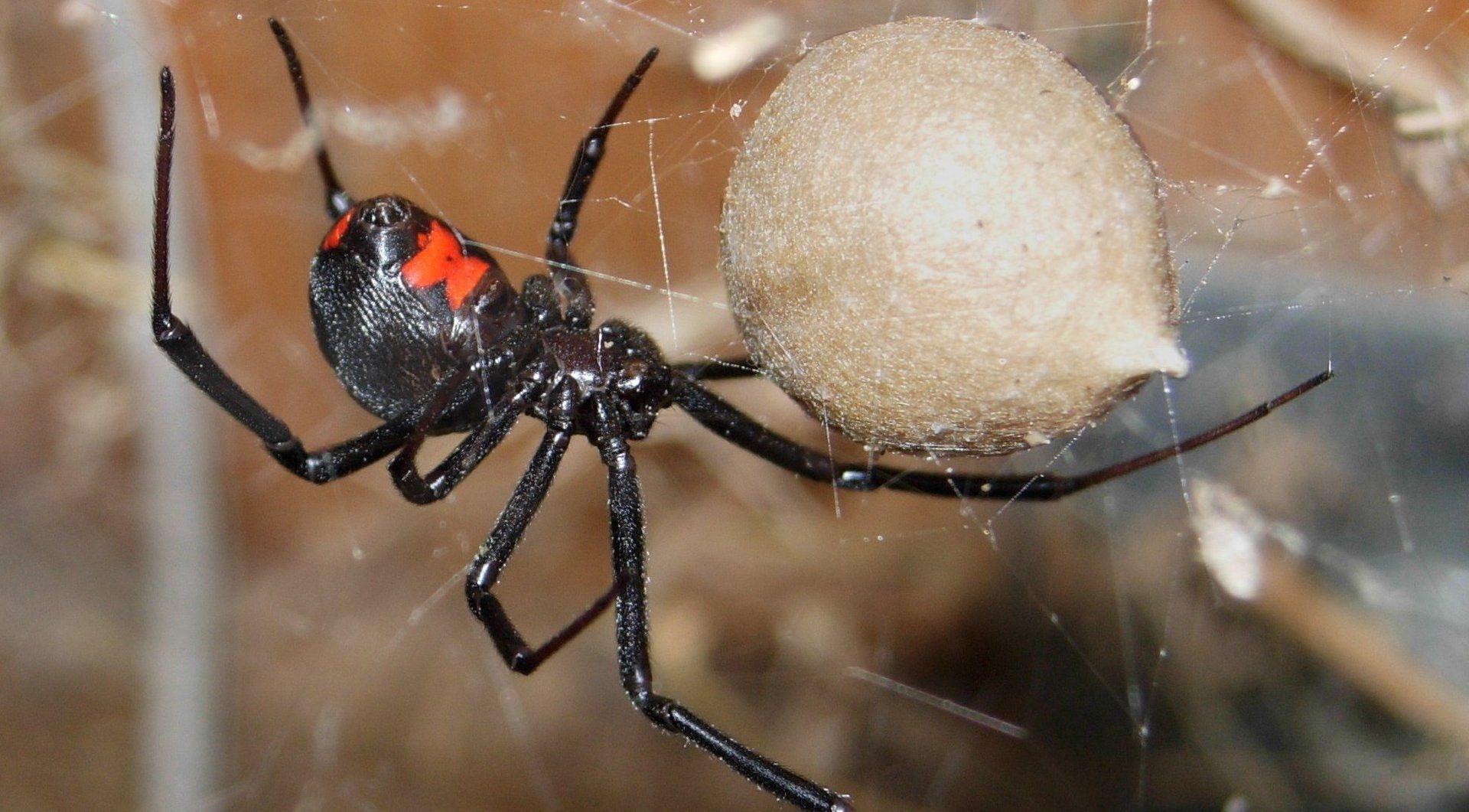 фото черной паука вдовы