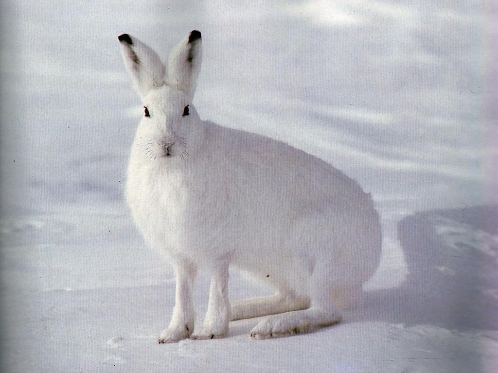 Заяц в снегу картинка
