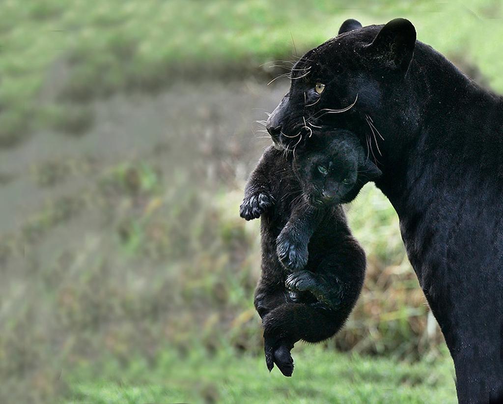 игры для panther