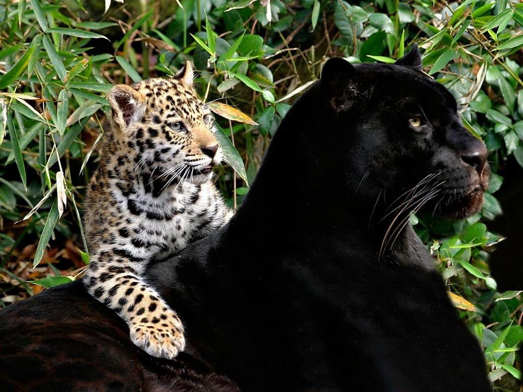Картинка Пантера с детенышем леопарда » Пантеры » Животные ...