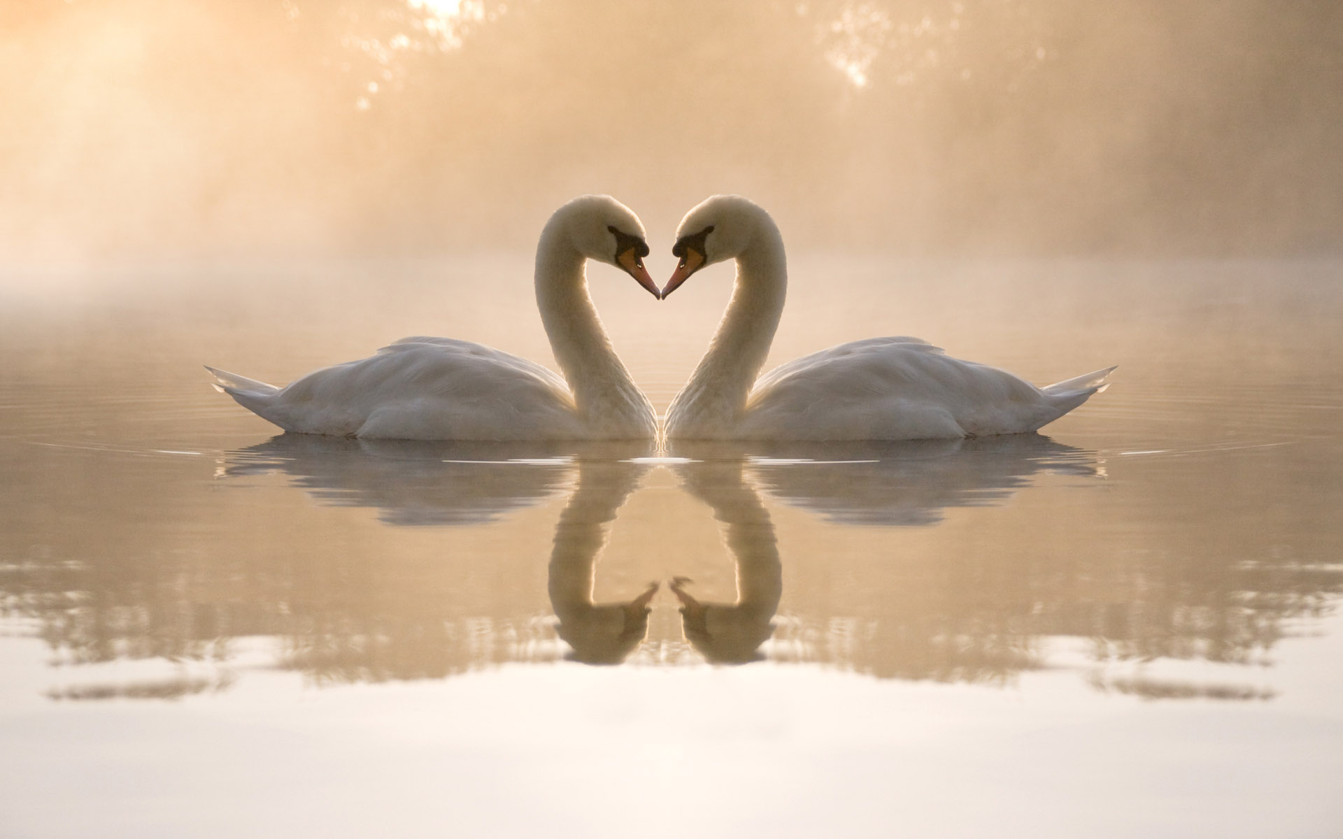 картинки пара лебедей