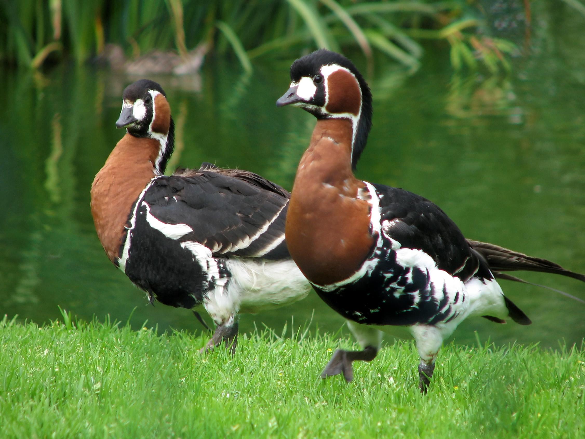 Записи ноги метки исчезающие птицы