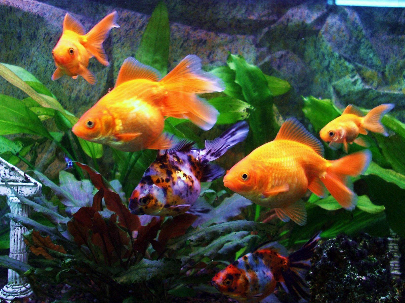 Гифка золотая рыбка гиф картинка, скачать анимированный gif на.