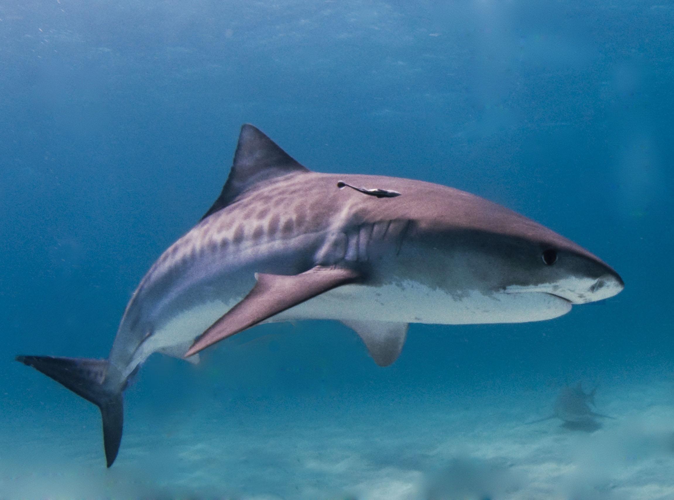 Картинка пасть белой акулы » акулы » рыба » животные » картинки 24.
