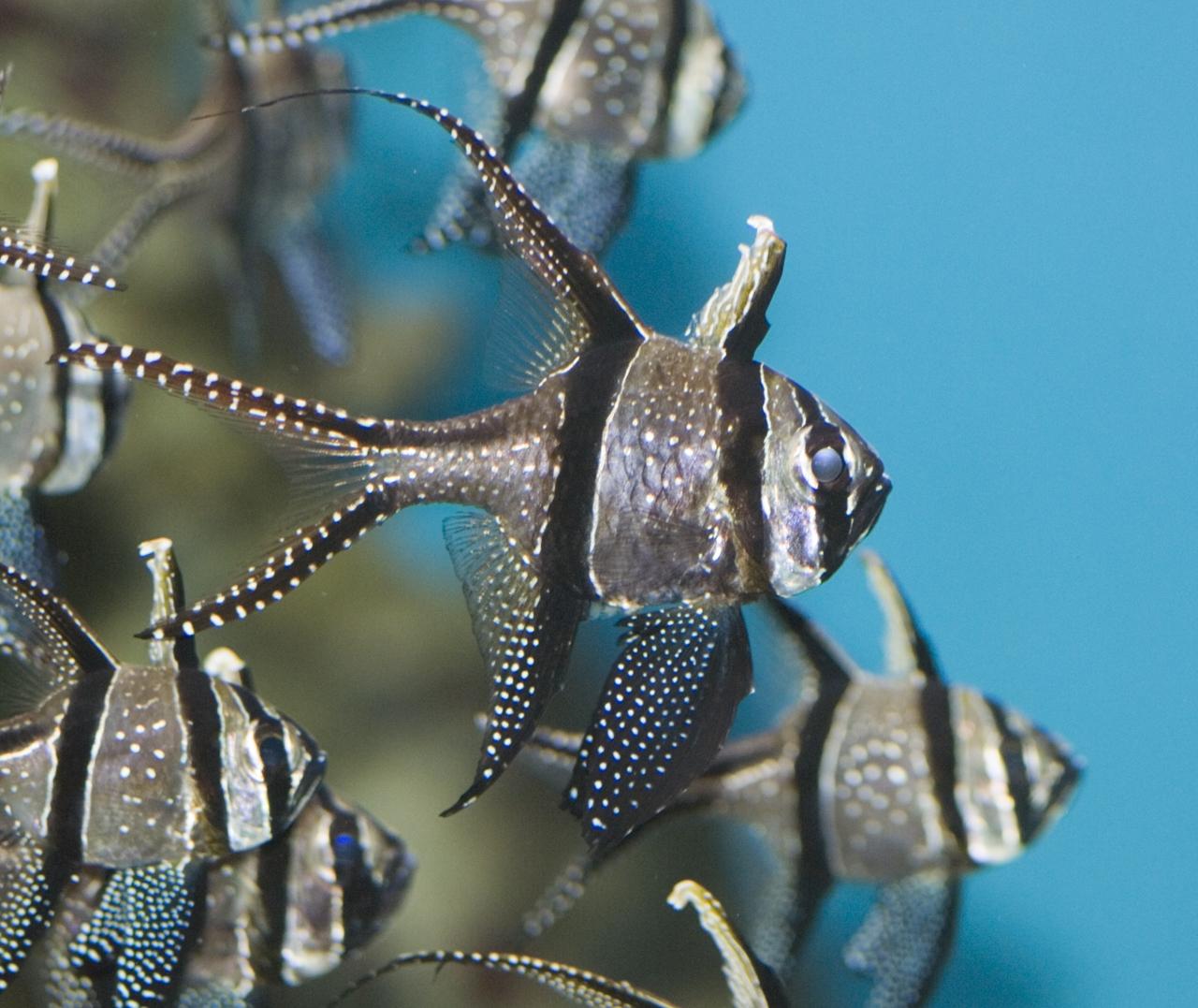 кардинал фото рыба