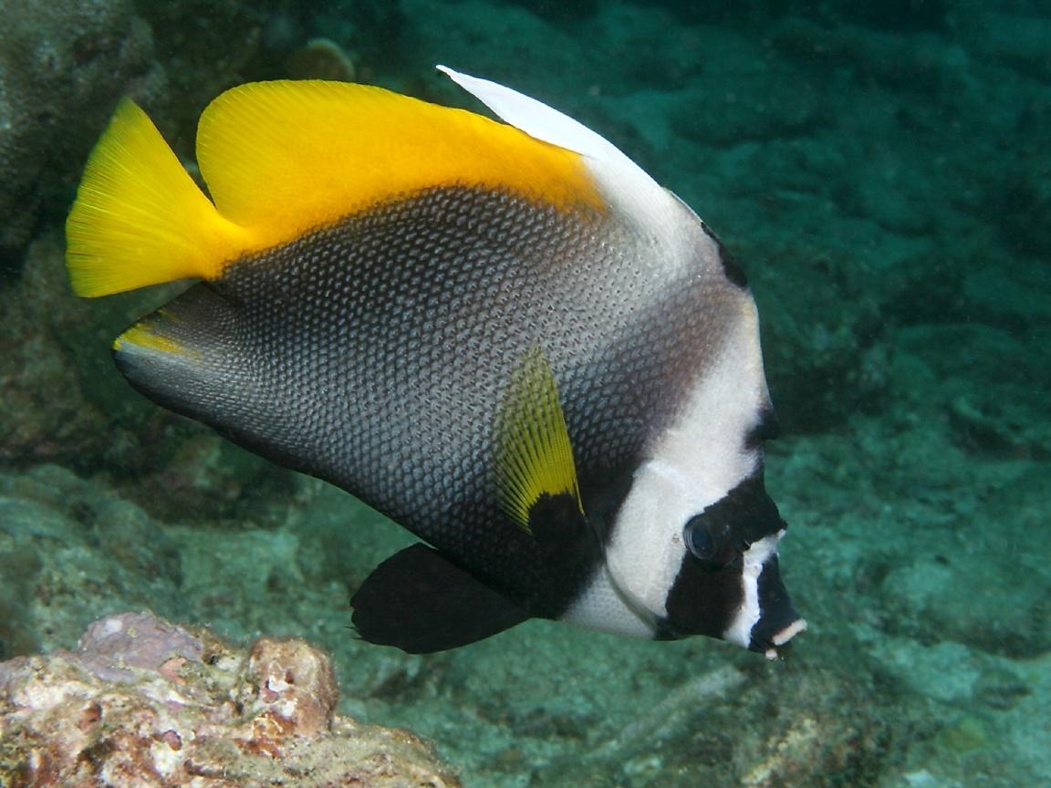 Картинка Рыба ангел » Морские рыбы ...: www.kartinki24.ru/kartinki/ryby-morskie/7681.html