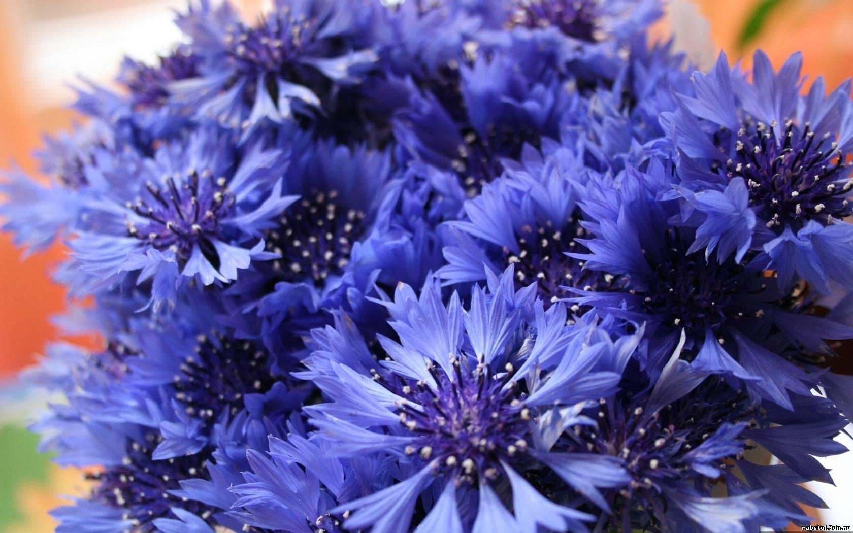 Цветы васильки синие