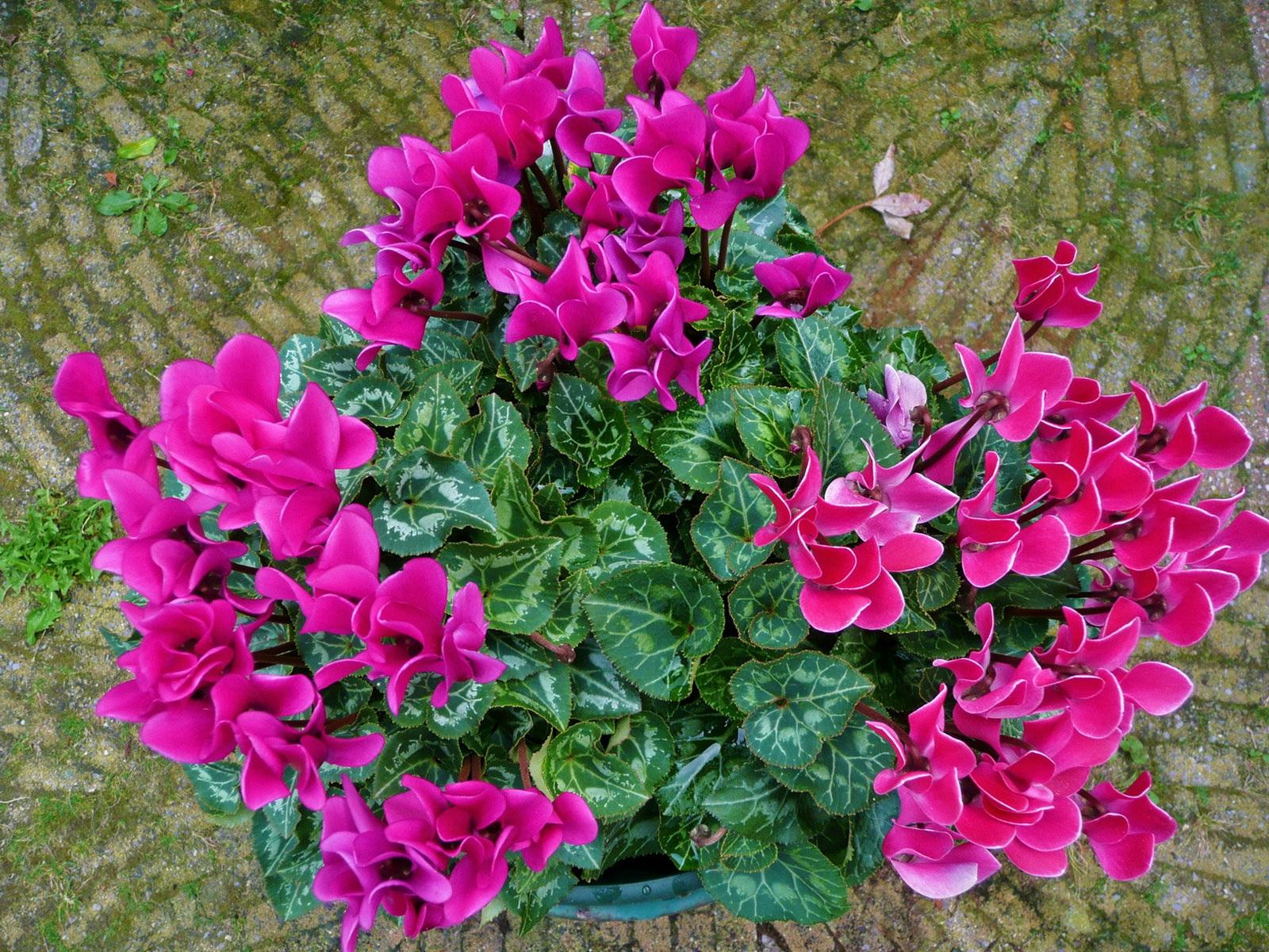 Картинки цветок цикламен 6