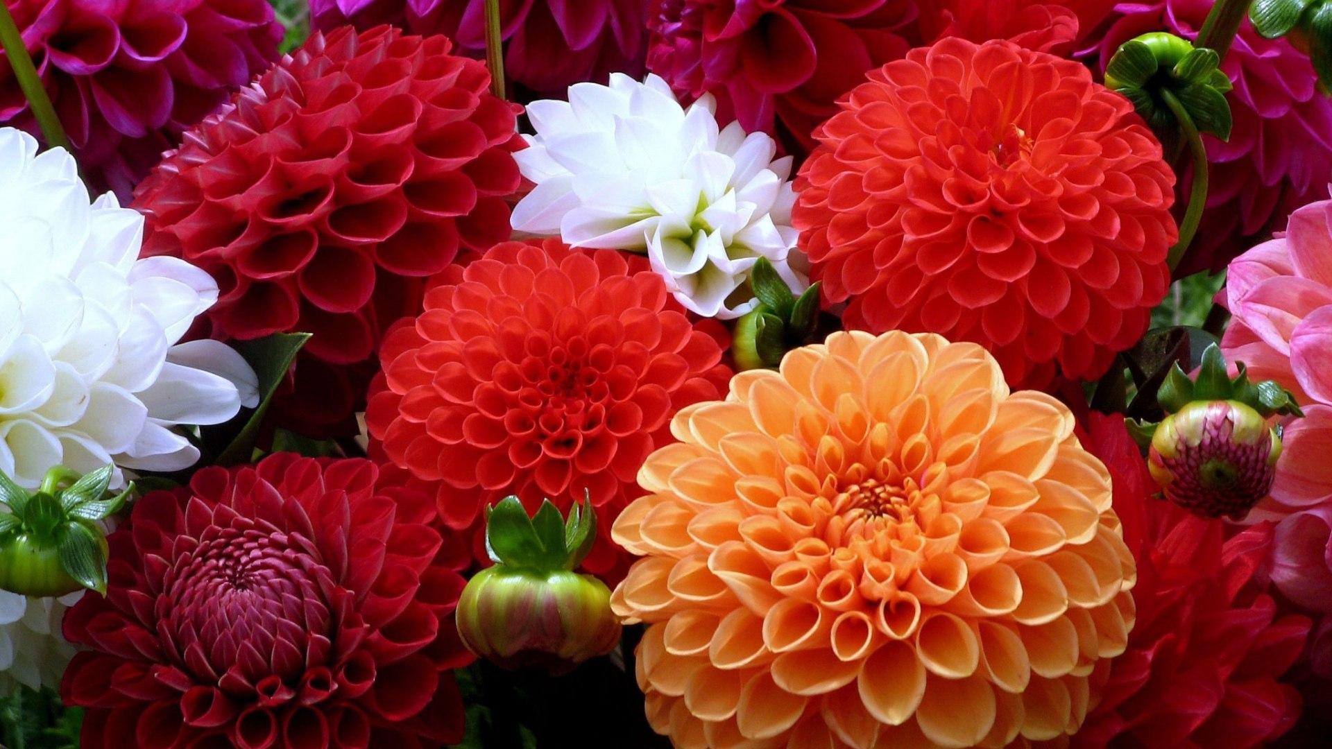 Разноцветные цветы георгины