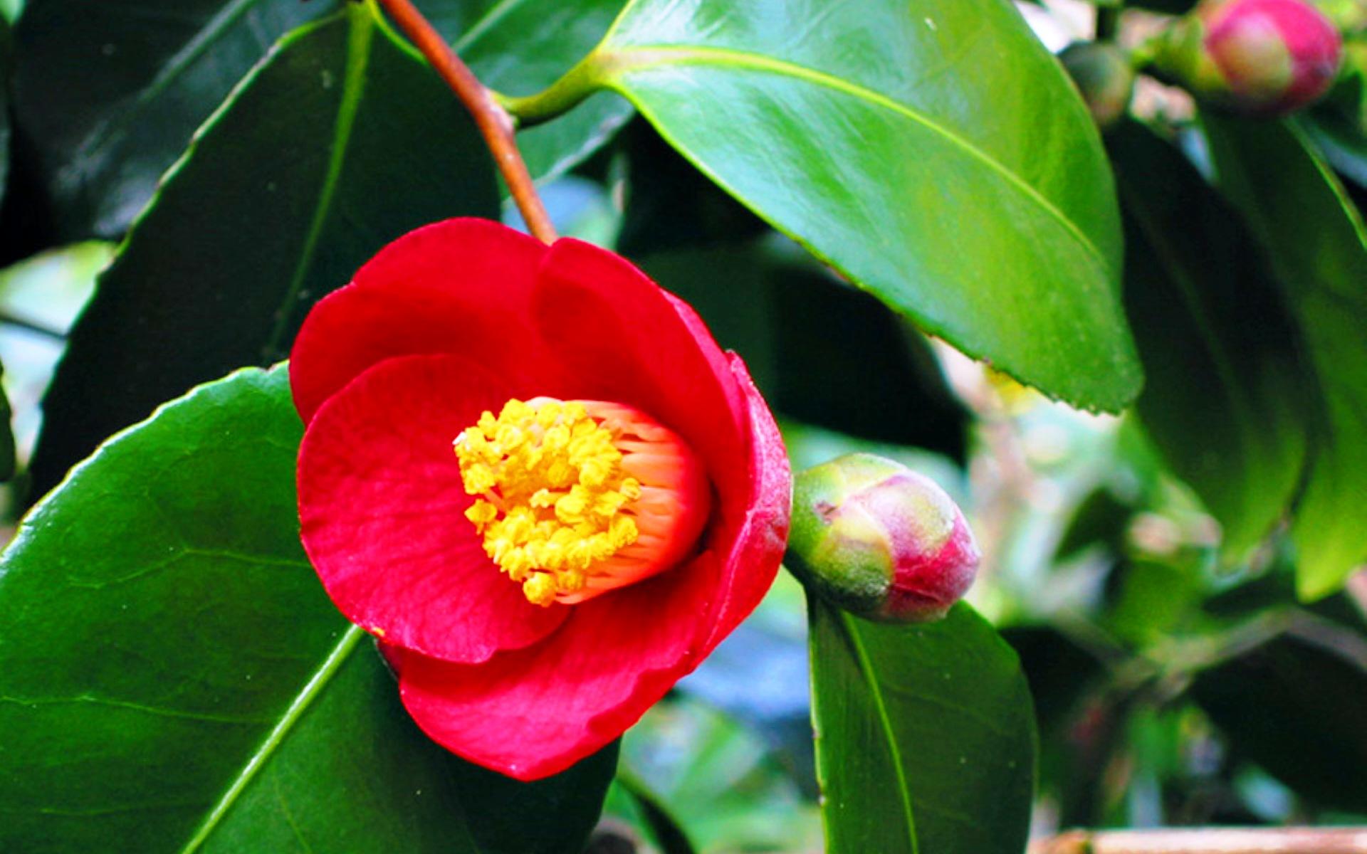 Описание и фото камелии цветка