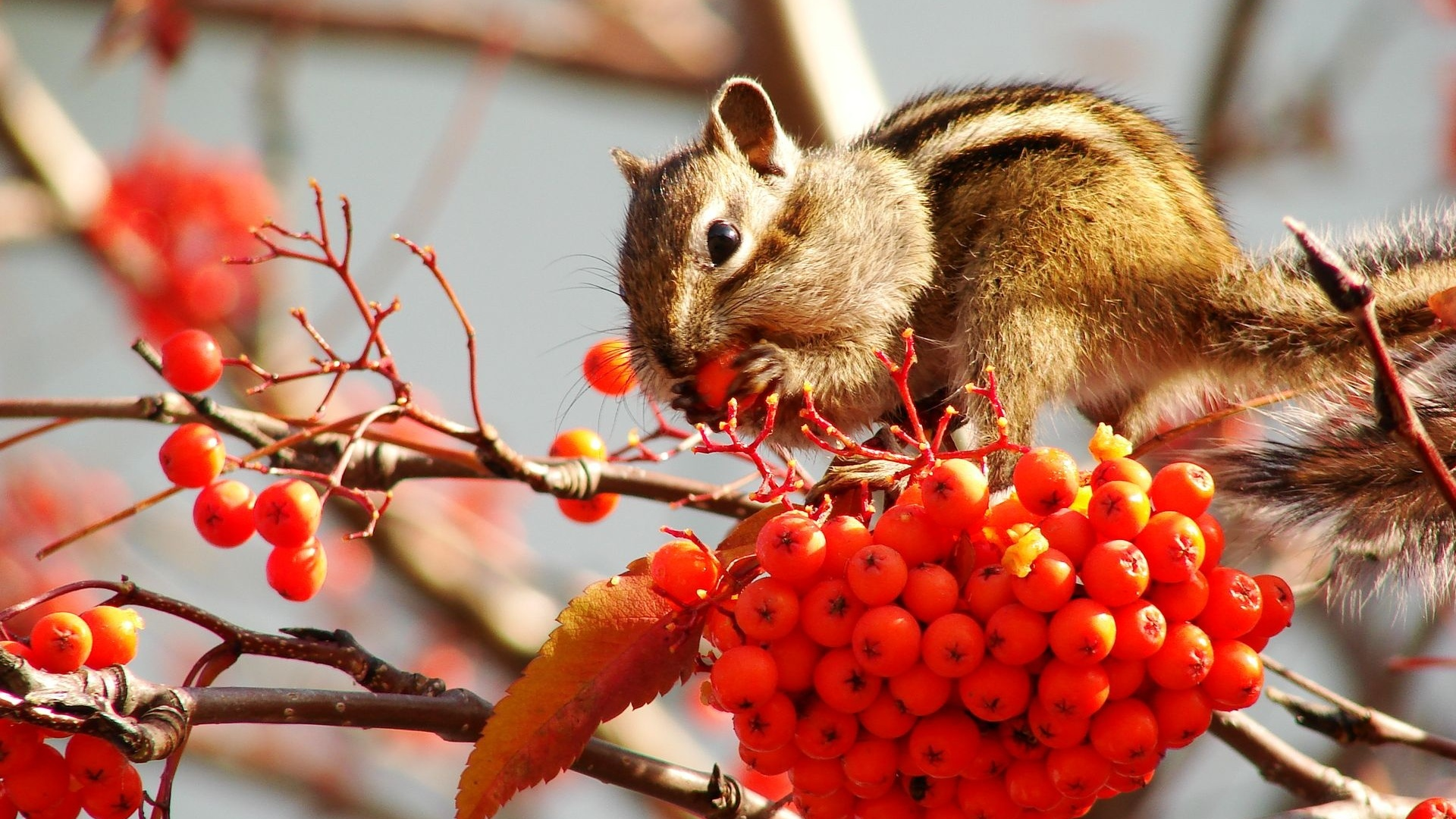 cute squirrel free background - photo #28