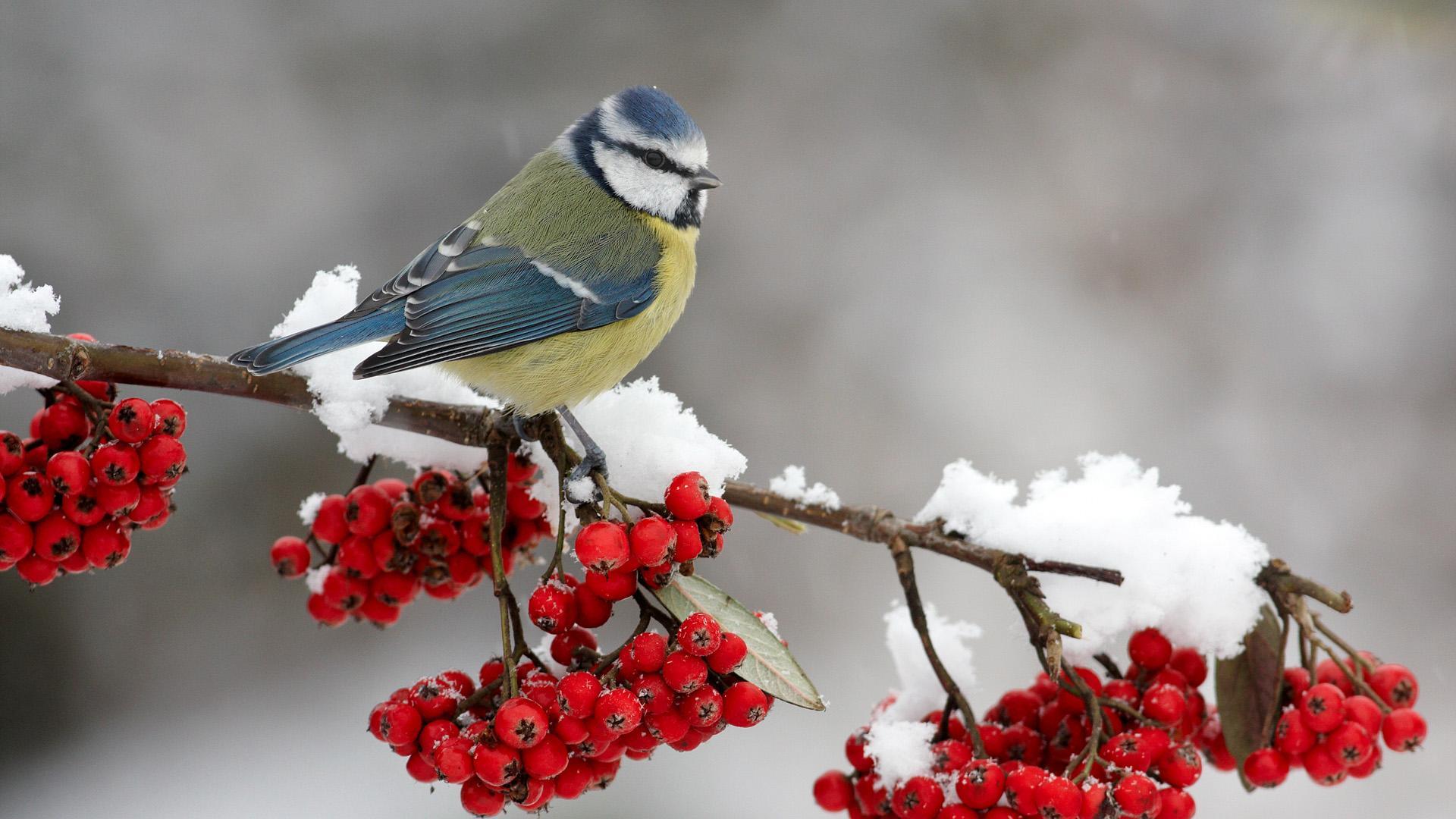 Рябина в снегу фото 553-513