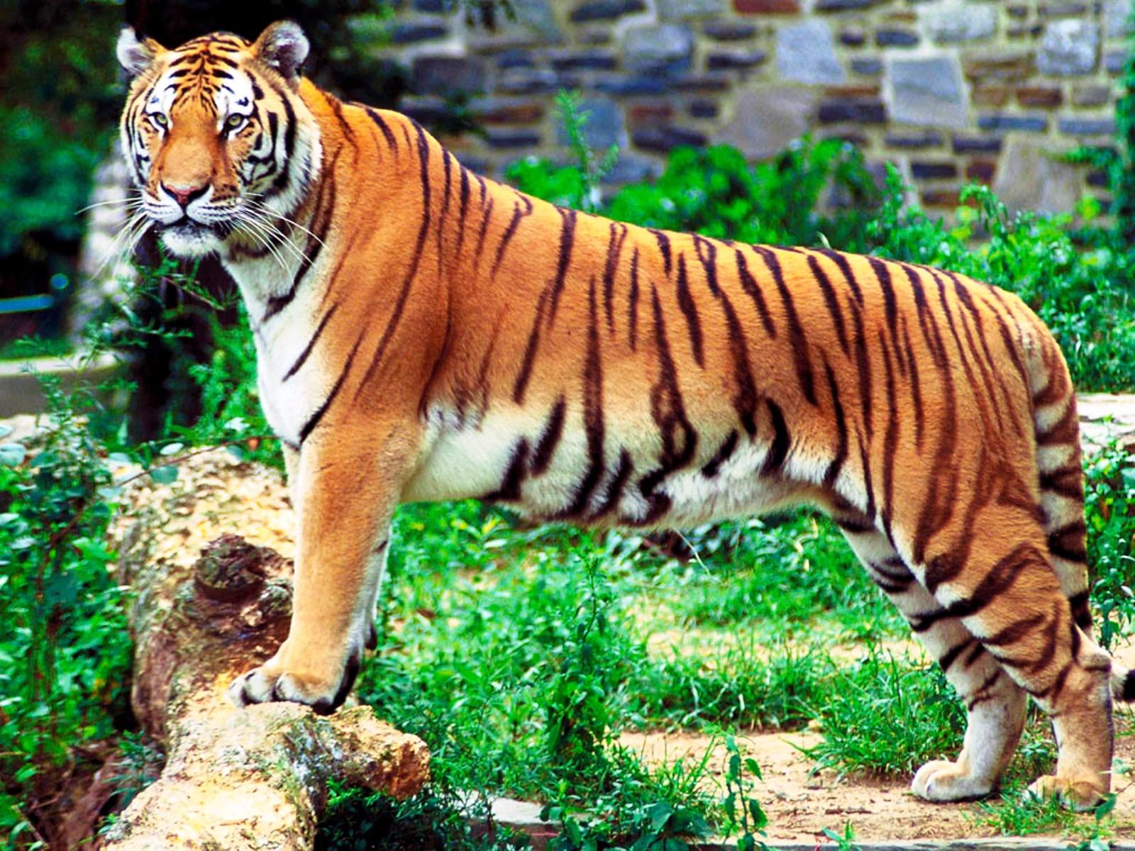 Синеглазый тигр: обои и картинки на рабочий стол, скачать.