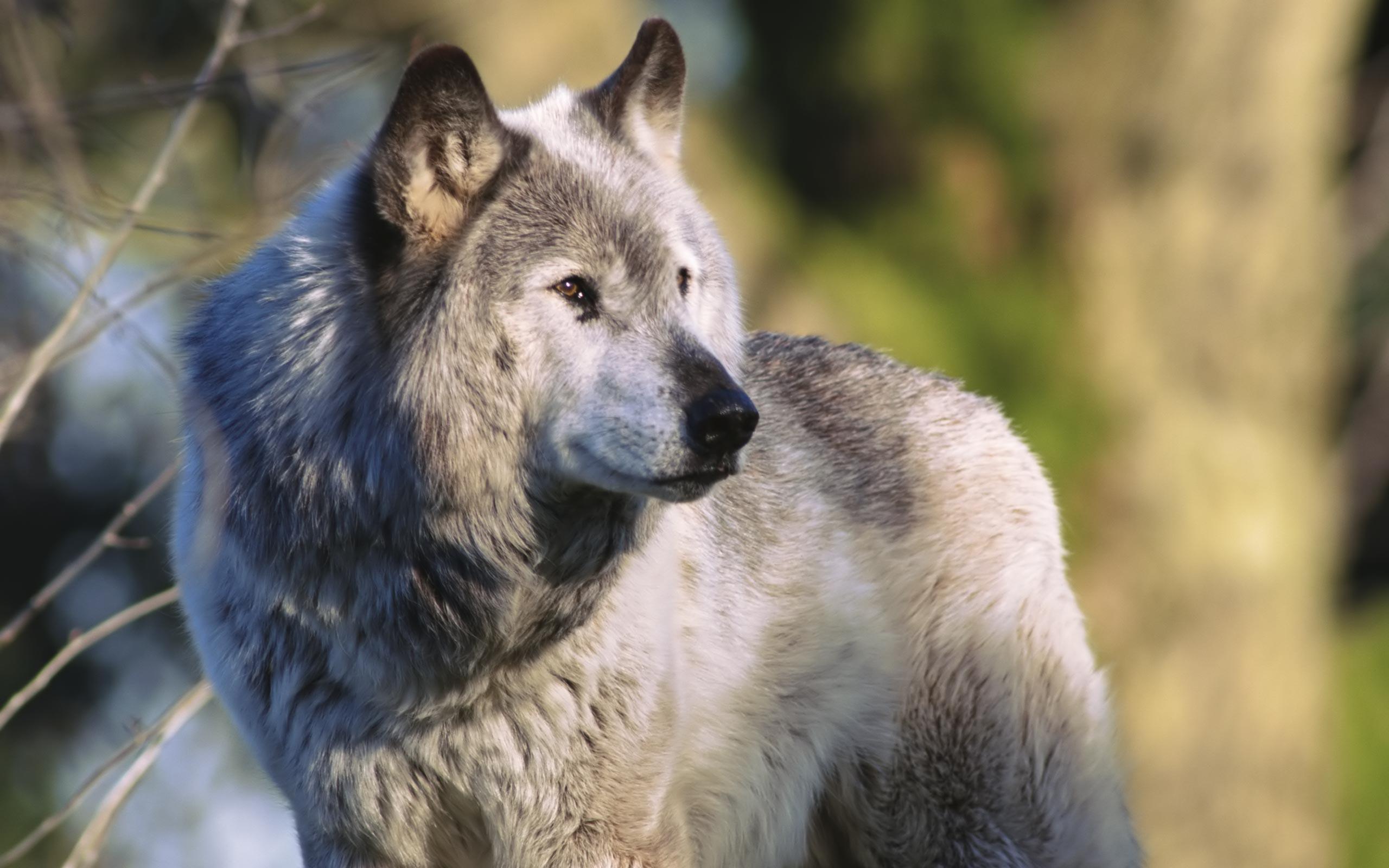 Картинки волки - b49